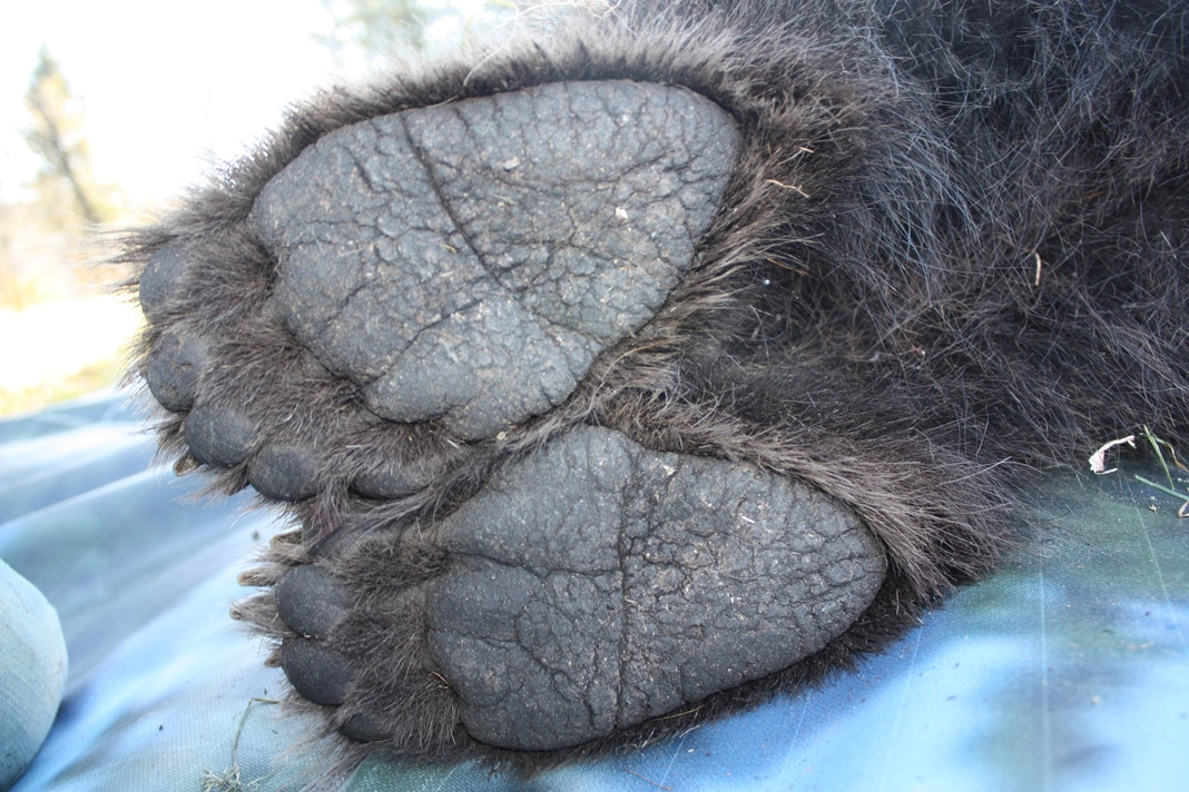 Bear feet (photo credit: Djuro Huber, none usage restrictions)